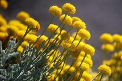 Трава бессмертника для усиления выработки желчи организмом