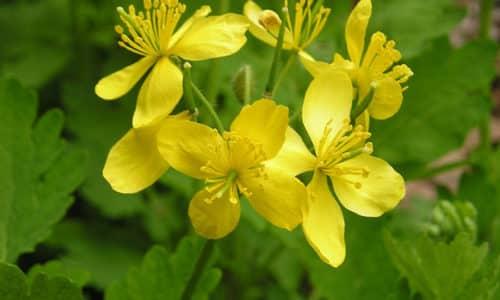 В список лечебных трав можно внести чистотел, способствующий очищению и усилению функций печени