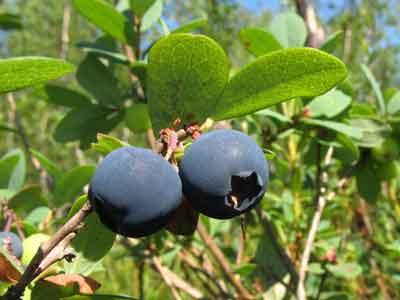 Лечение запоров народными средствами можно осуществлять настойкой из листьев и веток голубики