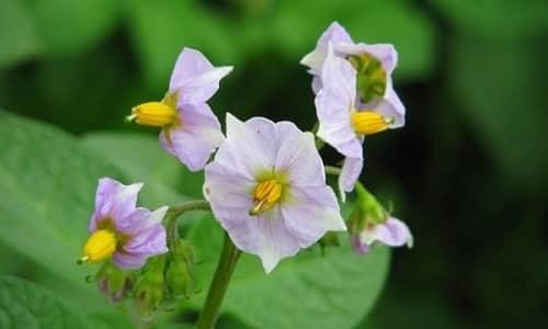 При раке поджелудочного органа применяют настой из картофельных цветков