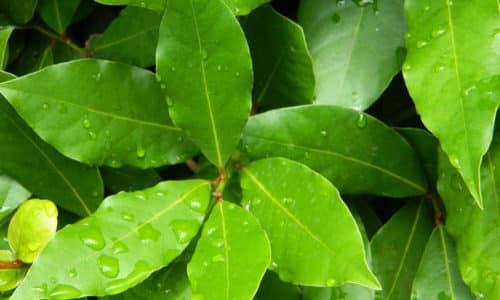 Лавровый лист - натуральное антибактериальное средство