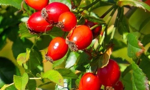 В напитки из ромашки можно добавлять плоды шиповника