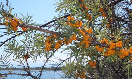 Целебные свойства облепихи изучались и были известны довольно давно. Врачи называют «оранжевую королеву» средством от 100 недугов