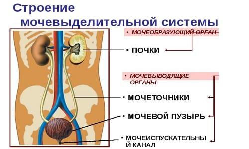 Цитомегаловирус, являющийся разновидностью герпеса, часто поражает мочеполовую систему