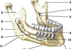 Анатомия нижней челюсти человека