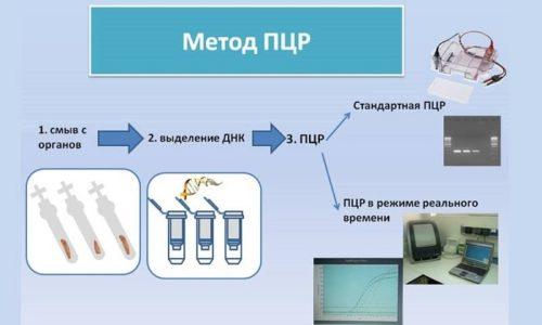ПЦР помогает обнаружить ДНК или РНК возбудителей в биологических жидкостях, поэтому является наиболее информативным методом