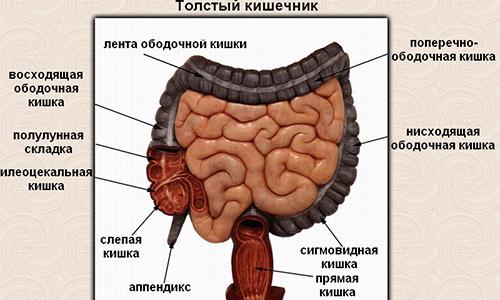 Прямая кишка в общем кишечнике человека