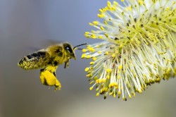 Пыльца - причина бронхиальной астмы