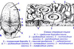 Схема строения языка