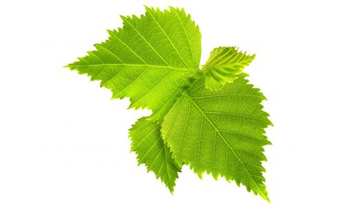 Настойку из листьев березы наносят на кожу при болях 3-4 раза в сутки