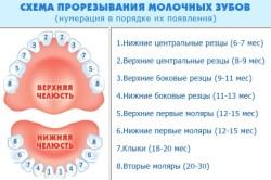 Схема прорезывания молочных зубов