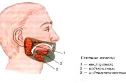 Расположение слюнных желез