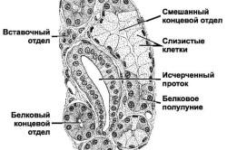 Строение слюнной железы